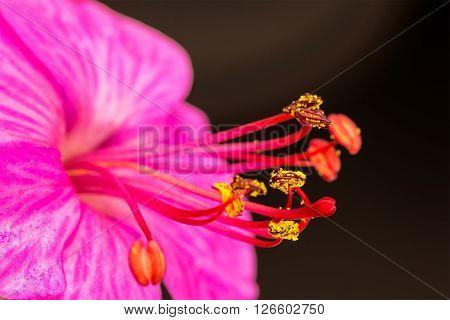 Beautiful red geranium with stamens. Close up
