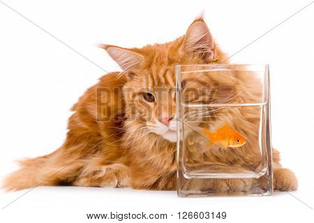 Cat and a gold fish, maine coon kitten 9 months old, isolated over white