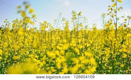 Oilseed rape plant field in summer, Czech Republic.