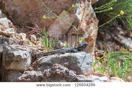 black lizard sitting on a rock basking in the sun