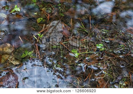 reflected in a pool of forest and swamp in  spring on  cloudy day