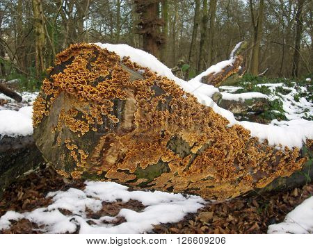 Crust fungus that looks like a Stereum species growing on a dead tree covered with snow.