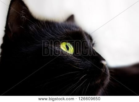 Close up portrait of black cat with green eyes
