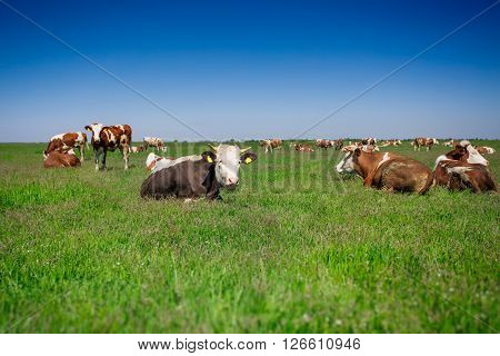 Cow on a green summer pasture eith blue sky