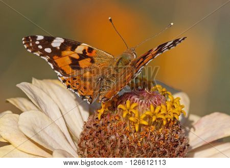 close up of Painted Lady butterfly on zinnia flower