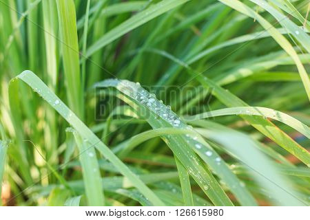 Lemongrass - herb plant fresh leaves and drop of water