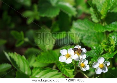 Bee pollinating strawberry blossom. Plenty of copy space