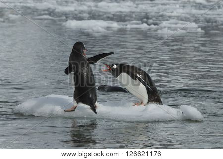 Two Gentoo Penguins fight on the ice in Antarctica