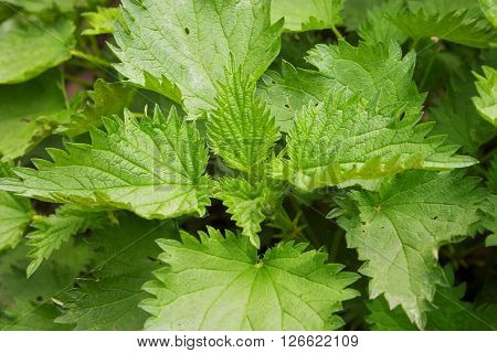 Young Stinging Nettle (urtica Dioica) In Garden. Healthy Concept