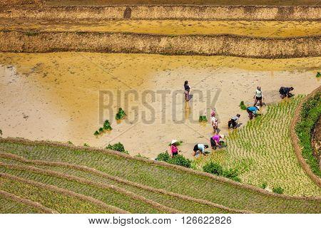CAT CAT, VIETNAM - JUNE 9, 2011: Vietnamese farmers working in rice field paddy.  Vietnam is now one of top world exporters in rice.