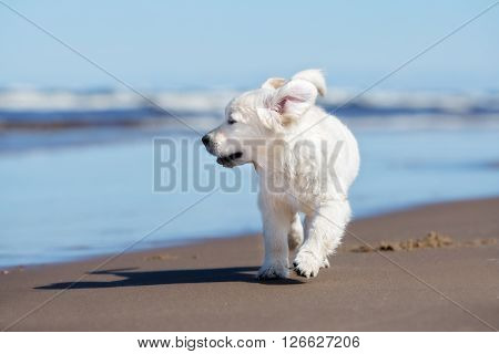 adorable golden retriever puppy running on a beach