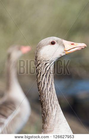 Portrait Of A Gray Goose (head)
