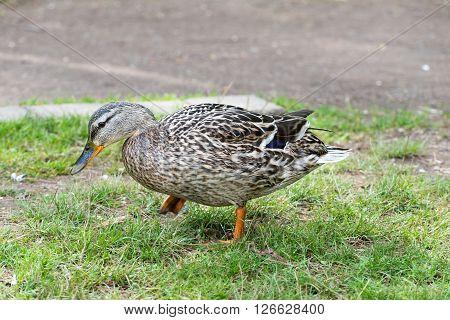 Malard (wild Duck) In Spring 2016