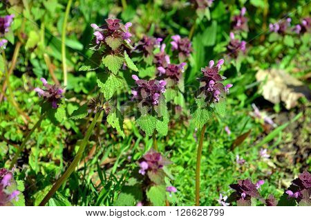 Selfheal Prunella vulgaris. A flower spike of this purple flower in the mint family