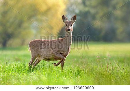 Photo of wild roe deer in gestation period