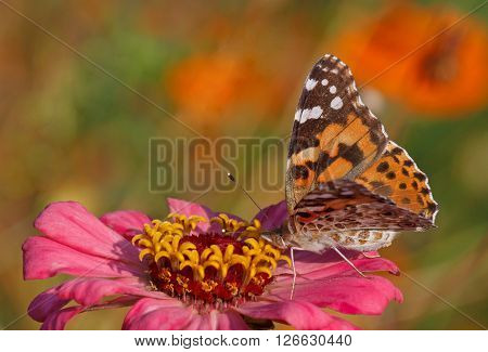 Painted Lady butterfly sitting on pink zinnia flower
