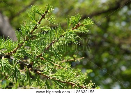 Branch with Young Needle Leaves of European larch in spring day