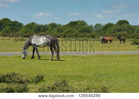 Wild ponies New Forest Hampshire England UK