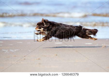 happy chihuahua dog running on a beach