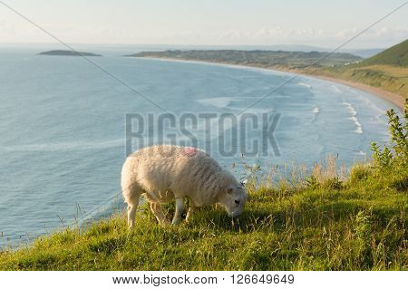 Rhossili beach The Gower peninsula South Wales UK with welsh sheep and overlooking the bay at this popular Welsh holiday destination