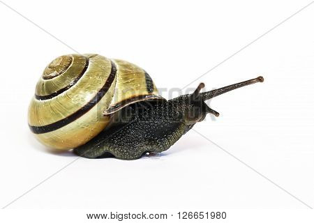 This is a snail hain on a white background.