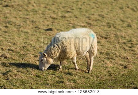 Sheep grazing in a farm field of green grass