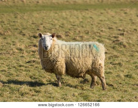 Sheep in a field looking to camera in a farm field green grass