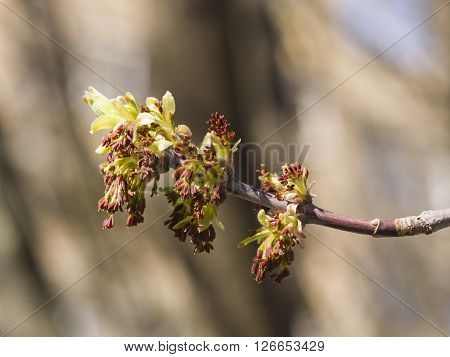 Flowers on branch ash-leaved maple Acer negundo macro with bokeh background selective focus shallow DOF