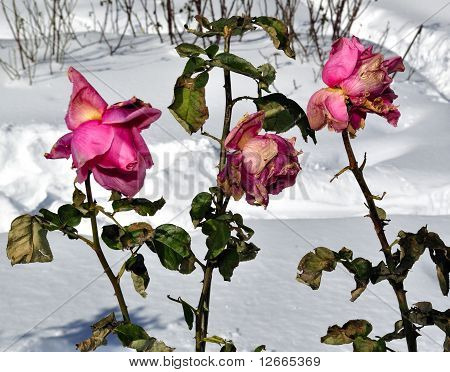 Roses of winter