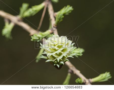 Siberian larch cone with young fir-needles in spring on bokeh background selective focus shallow DOF