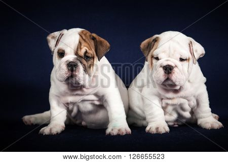 ENGLISH Bulldog puppys on dark background