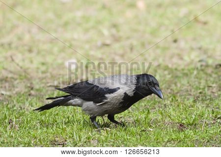 Hooded Crow Corvus Cornix searching for food portrait in spring grass selective focus shallow DOF