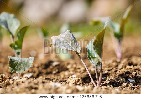 Cauliflower (Brassica oleracea) plants in freshly plowed and fertilized soil. Self-supply organic food production home gardening concept.
