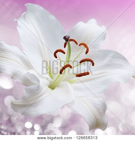 Flower white lily on a pink background of water splash