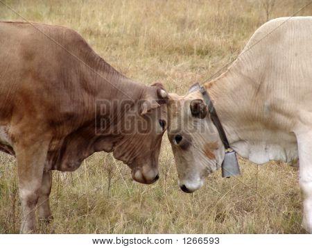 Stiere kämpfen