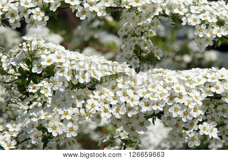 Snowmound spirea flowers (Spiraea nipponica) bloom in the Spring