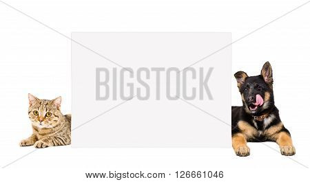 German Shepherd puppy and cat Scottish Straight lying, peeking from behind a banner isolated on white background