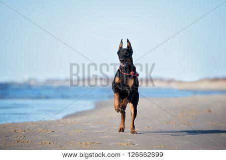 black doberman dog playing on a beach