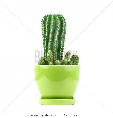 domestic cactus isolated on white