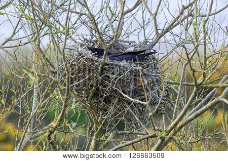 Carrion crow (Corvus corone) on nest of sticks and string. Large black bird settled on nest of sticks at dusk incorporating lost fishing fishing materials