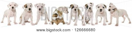 puppies american bulldog in front of white background