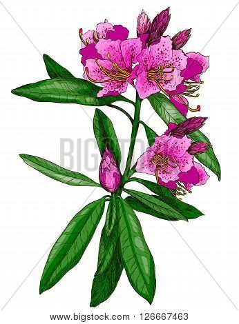 Vector illustration of Nerium Oleander Hand drawn flower
