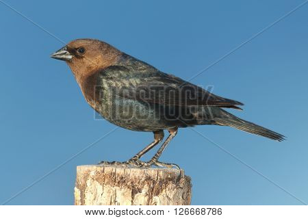 Male Brown-headed Cowbird (Molothrus ater) on a perch with a blue background