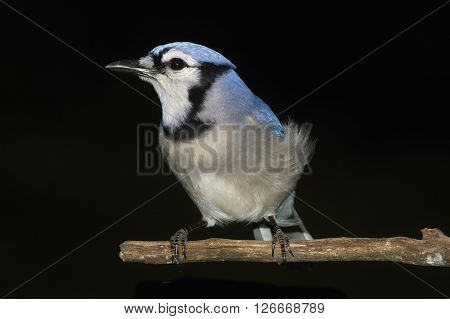 Blue Jay (corvid cyanocitta) perched with a black background
