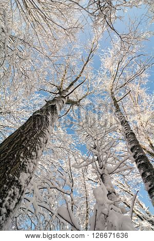 A snowy winter scene looking up at tall snow covered trees against a pretty blue sky.