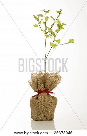 Cutout of a young sloe bush in hessian wrap with a small red bow.