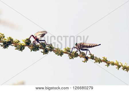 A macro shot of two robber flies on a branch