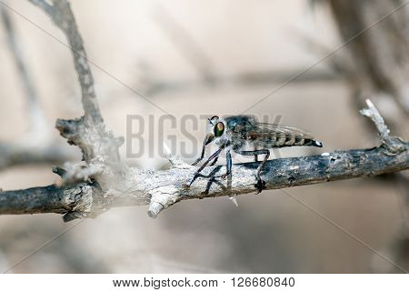 A macro shot of a robber fly on a branch