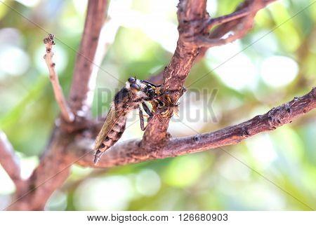 Killer Fly (robber Fly)