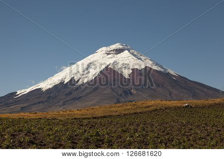 Cotopaxi Volcano and potato crops in foreground